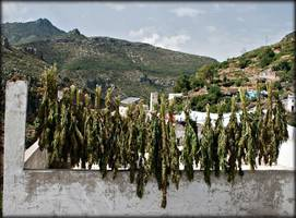 Marijuana Cultivation Financing Syrian Rebels